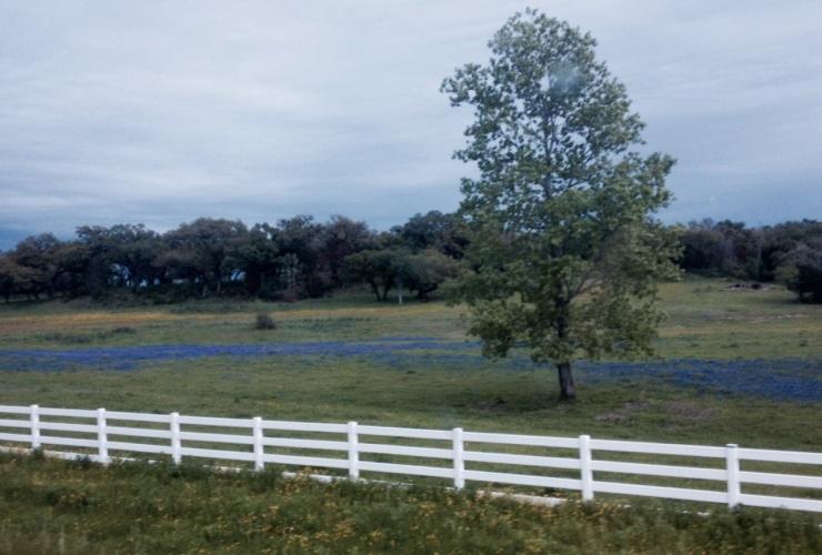 Texas Blueboonnets