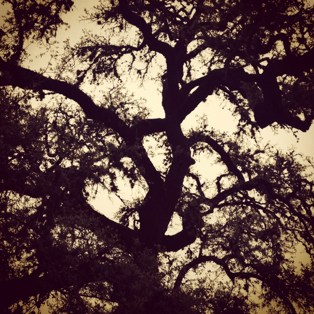 Texas Live Oak Round Top