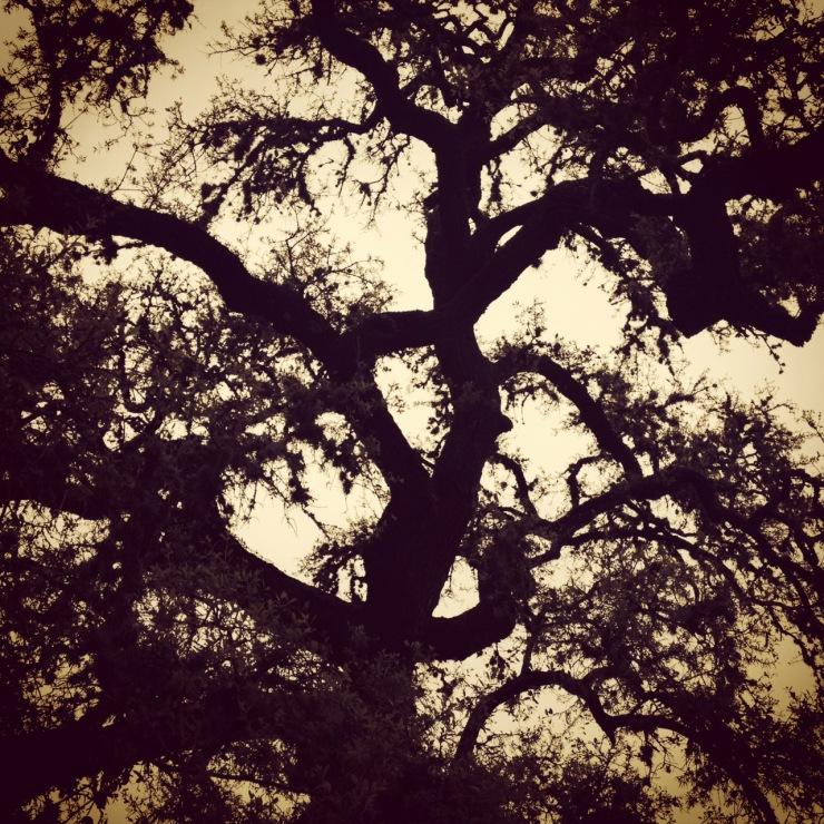 Texas Live Oak Round Top