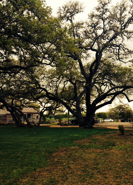 Live Oak Tree Round Top Square